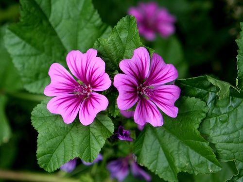 Malva come antinfiammatorio naturale