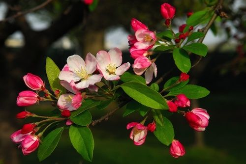 Crab Apple, fiore di Bach