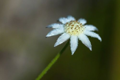 Little Flannel Flower, rimed floreale australiano