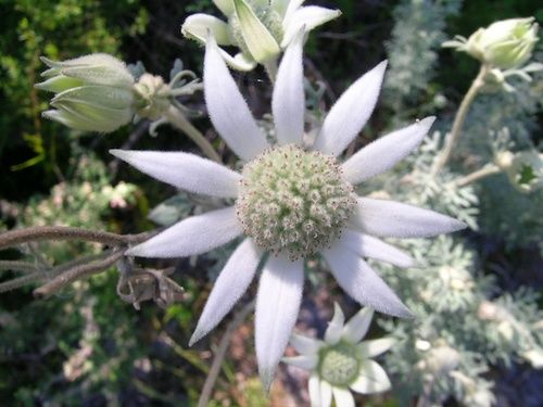 Pink Flannel Flower, rimed floreale australiano